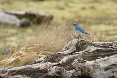 Mountain Bluebird 002