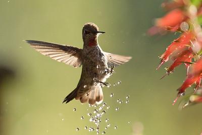 Hummingbird 0217
