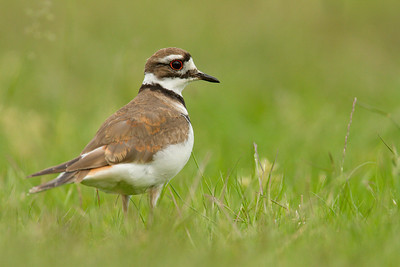 Killdeer 042