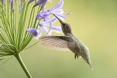 Hummingbird 0295