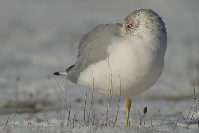 Ring Billed Gull 002