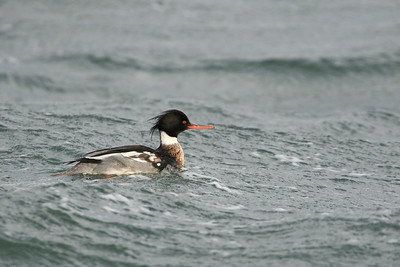 Common Merganser 001