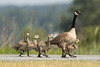 Canadian Geese 008