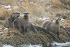 River Otters 012