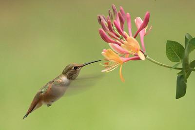 Hummingbird 0256