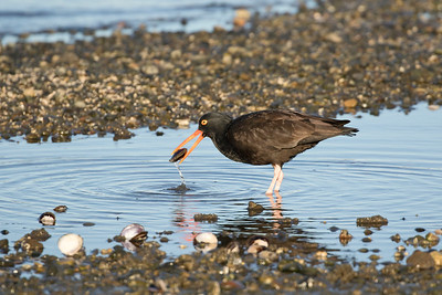 Black Oystercatcher 0207