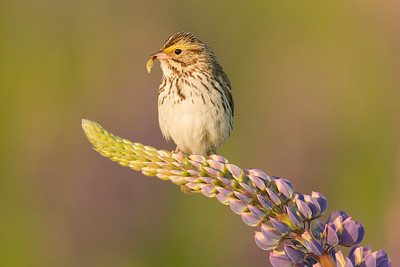 Savannah Sparrow 017