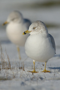 Ring Billed Gull 003