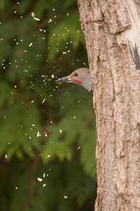 Northern Flicker Woodpecker 005