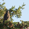 Harlan's Red Tail Hawk 001