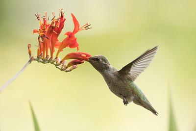 Hummingbird 0277