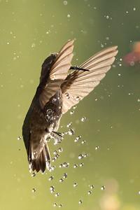 Hummingbird 0214
