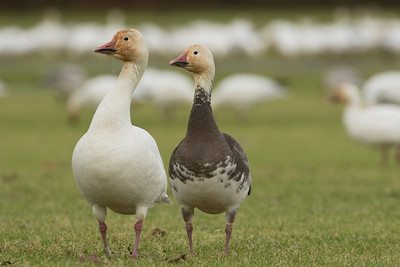 Snowgeese 053