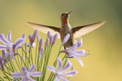 Hummingbird 0309
