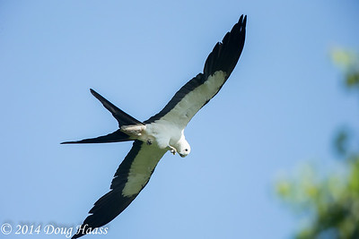 Swallowtailed Kite