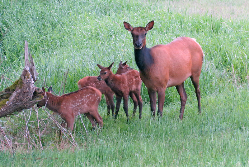 Elk calves investigate while cow elk looks us over