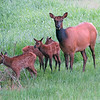 Cow elk looking alertly while calves investigate. Photographed June 1, 2012 at 5:24 am.