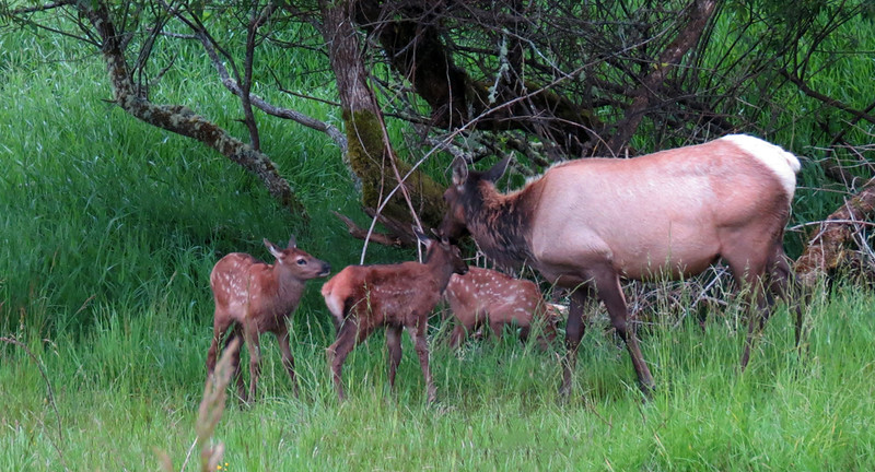 Older cow elk taking care of new born calves