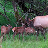 Older cow elk taking care of new born calves