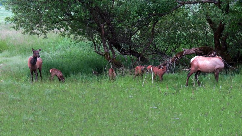 Cow elk care for newborn calves in 2012