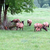 The younger cow elk mothers graze
