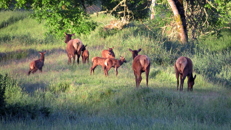 Elk cows take the calves uphill and some distance from the highway and mankind