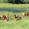 Cow elk taking calves to a safer location