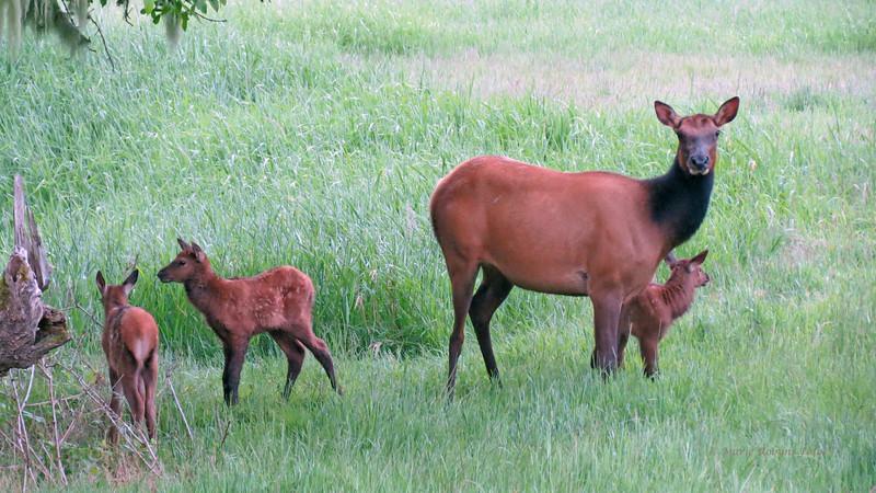 Cow elk and newborn calves