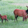 Cow elk looking alertly while calves look around. Photographed June 1, 2012 at 5:24 am.