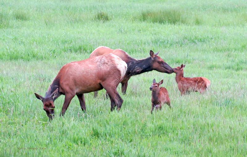 Elk calves play while cow elk graze