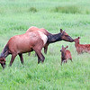Elk calves play while cow elk graze
