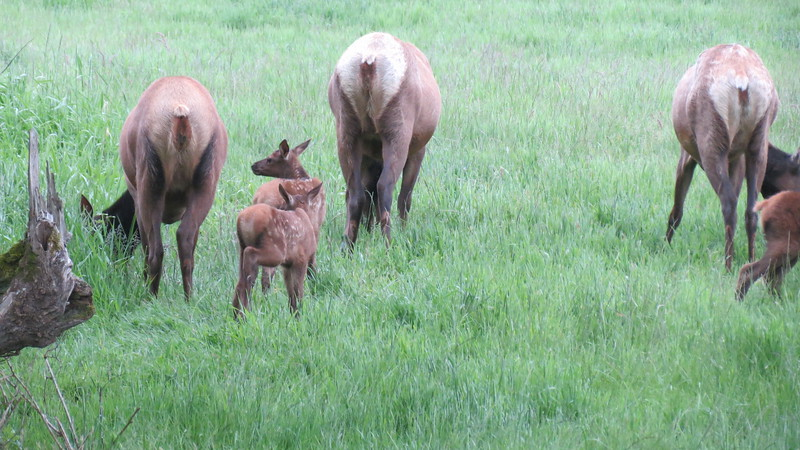The Cow Elk graze while their babies investigate