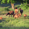 Elk calves play and investigate  their surroundings while the elk cows keep track of them