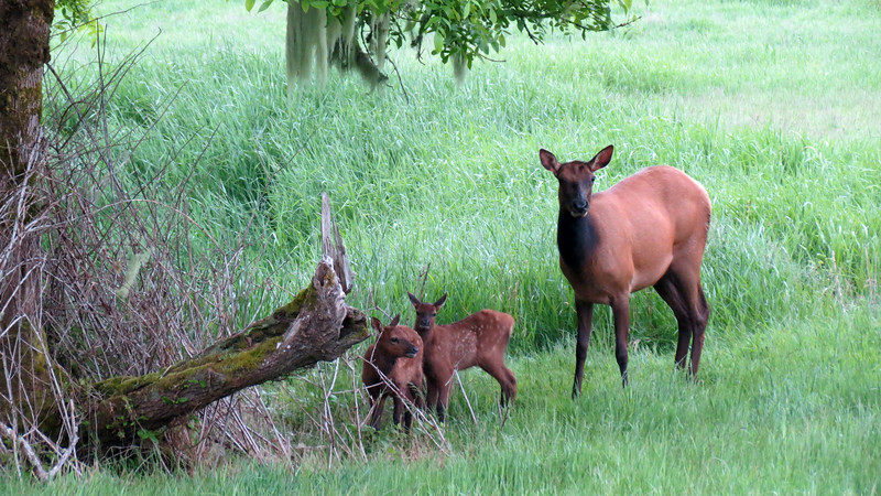The cow elk looks us over while newborn baby elk investigate their surroundings