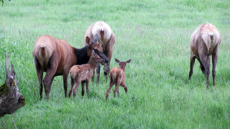 Two babies investigate while their mothers graze