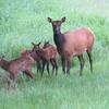 Cow Elk looks us over while newborn baby elk investigate their surroundings