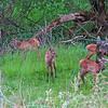 Cow elk cares for newborn elk calves
