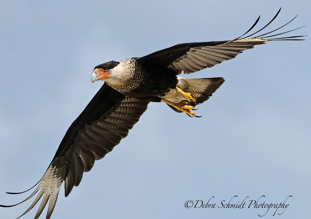 _DS38788-Caracara-flight