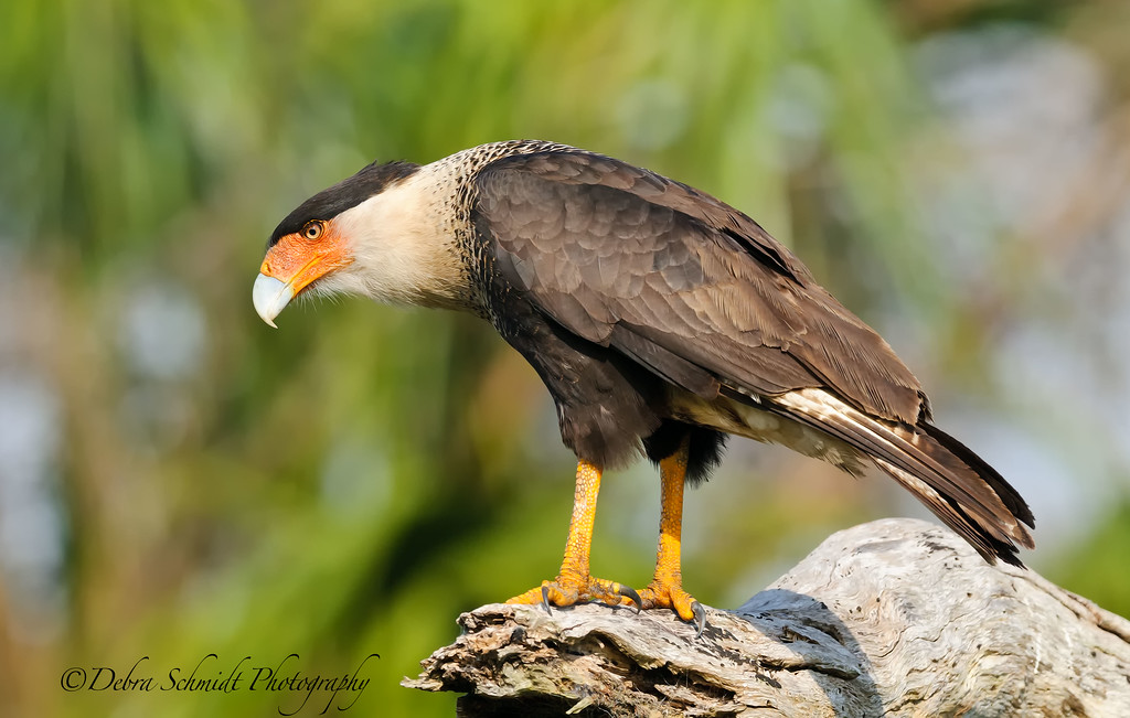 _DS38608a-Caracara-on-log