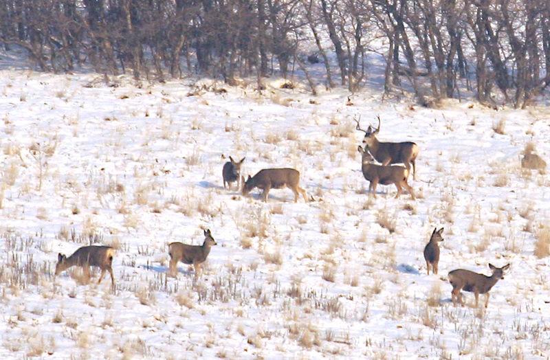 5831 Buck Deer an  Family On hill