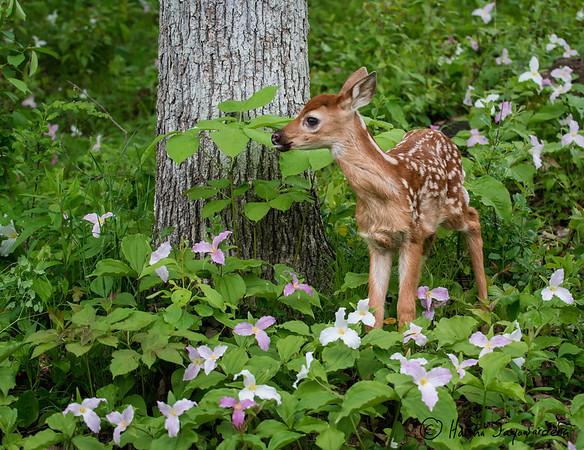 Deer, Elk