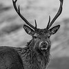 The Kings House Stag. Kingshouse Hotel, Glencoe