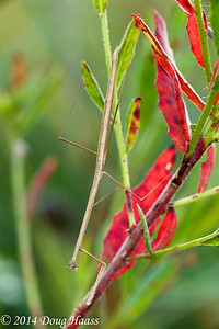 Slim Mexican Mantis (Bactromantis mexicana) female