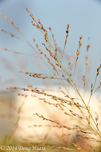 Switchgrass Panicum virgatum