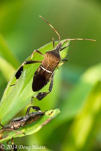 Leaffooted bugs Leptoglossus phyllopus (Linnaeus)