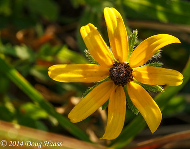 Black-eyed Susan Rudbeckia hirta at Sunrise