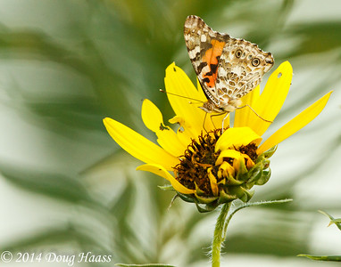Painted Lady Butterfly Vanessa cardui on prairie Sunflower in Deer Park