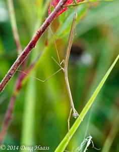 Brown Praying Mantis on the Move