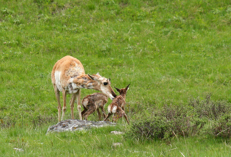 A pronghorn doe cleans her newborn fawns as they struggle to get their legs under them for the first time