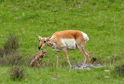 These two pronghorn fawns were born about 20 minutes before this photo was taken.  The one on the left is standing for the first time, while the one behind the rock is still glued to the ground.  This scene can also be viewed in the nature documentary Yellowstone: Battle for Life